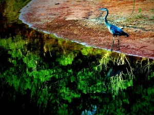 Reflected in the lake, the graceful features of this great blue heron. The bank is red clay behind it and the lake is full of green reflected foliage